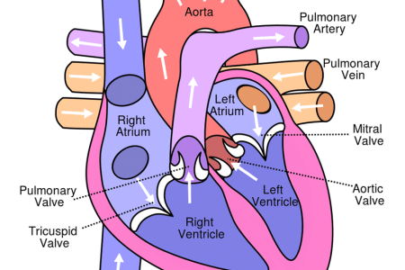 Interior anterior view heart diagram full hd maps locations gpi heart model graphical representation of the heart left interior view of the graphical representation of the heart left interior view of the heart right ccuart Choice Image