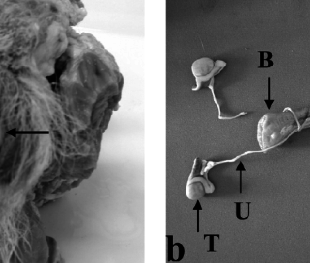 Visual Appearance Of The Clitoris Testes And Uterus Of A Male Raccoon Dog Pseudohermaphrodite A A Large Clitoris Was Seen In External Genitalia