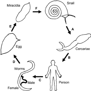 Schistosomiasis life cycle A , The snail releases