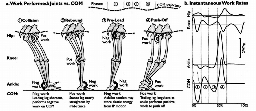Diagram of the stance phase of a human walking gait Part (a)   Download Scientific Diagram