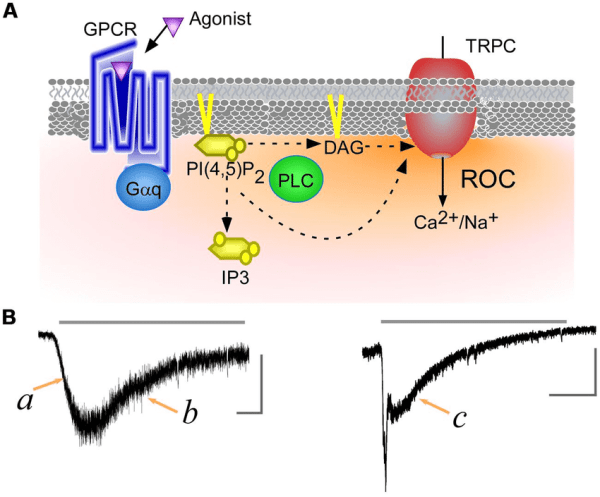 Transient receptor potential canonical (TRPC) channels ...