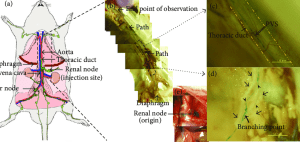 Anatomical location of the primo vascular system (PVS) in the thoracic   Download Scientific
