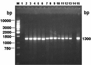 entFM gene specific PCR: Lane M: 1 kb DNA ladder, Lane 1