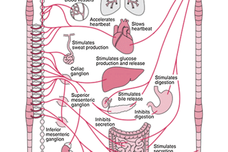 Interior pictures your nervous system electronic wallpaper diagram of the breakdown of sympathetic nervous system and stress diagram of the breakdown of the peripheral nervous system your nervous system part one ccuart Image collections