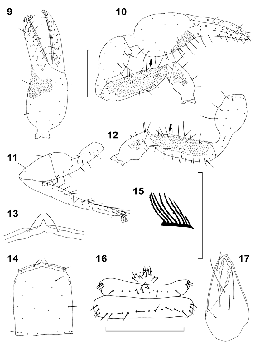 Fig 9 17 archaeoroncus tenuis hadži paratype male from dalmatia
