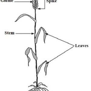 Morphology of wheat plant showing spike (head) | Download
