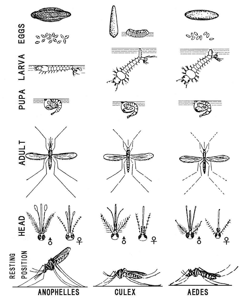 How To Identify Culex Anopheles And Aedes Mosquitoes And