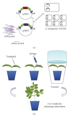 TRVmediated VIGS in N benthamiana TRVbased virus induced gene | Download Scientific Diagram