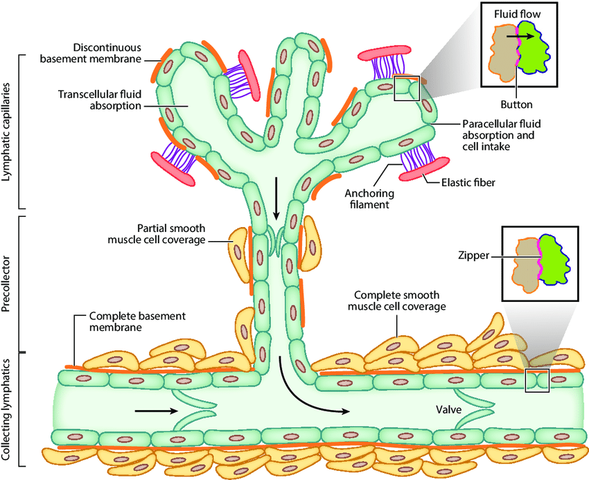 Schematic Diagram Of The Lymphatic Vascular Tree