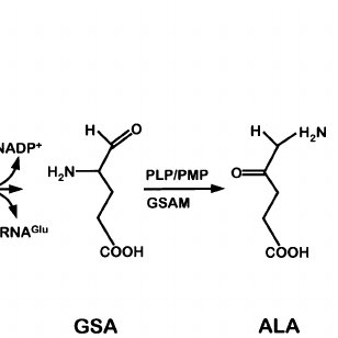 Pathway of tRNA-dependent formation of 5-aminolevulinic ...