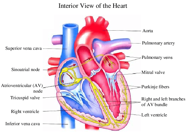 1 shows the heart anatomy from the anterior and interior views The | Download Scientific Diagram
