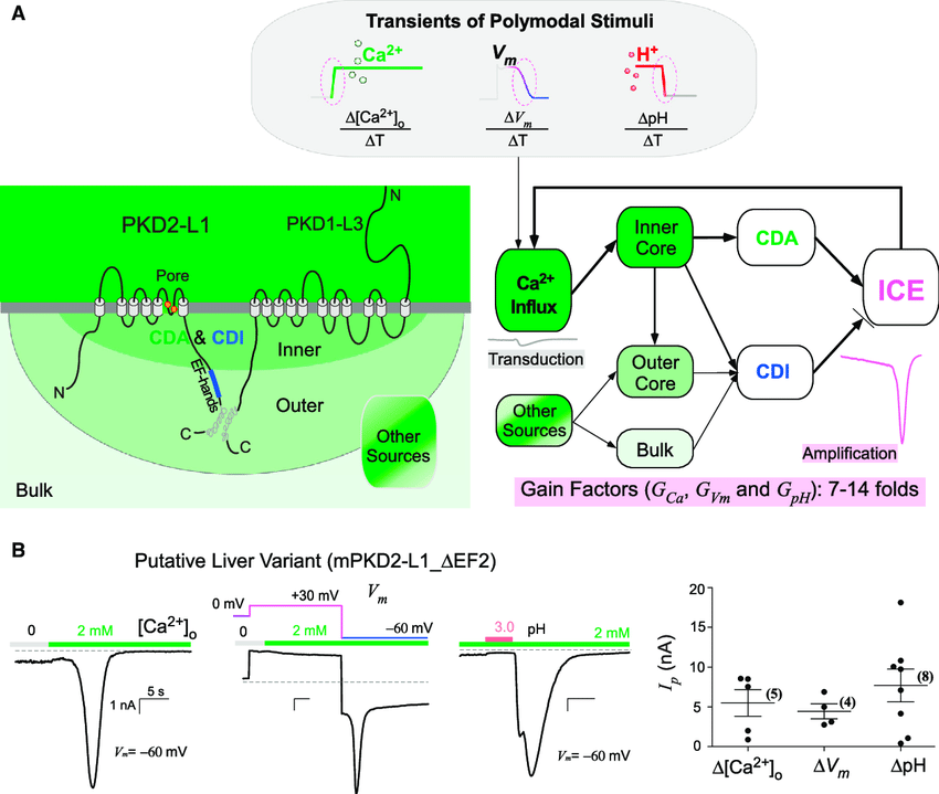 scheme of ice ca 2 feedback regulations and transient signal facilitations a foundational scheme of ice besides other sources in the cell e g