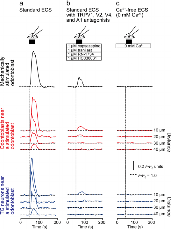 Effects of transient receptor potential (TRP) channel ...
