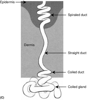 (Continued ) (C) Diagram of an eccrine sweat gland Source