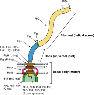 Schematic diagram of the bacterial flagellum The