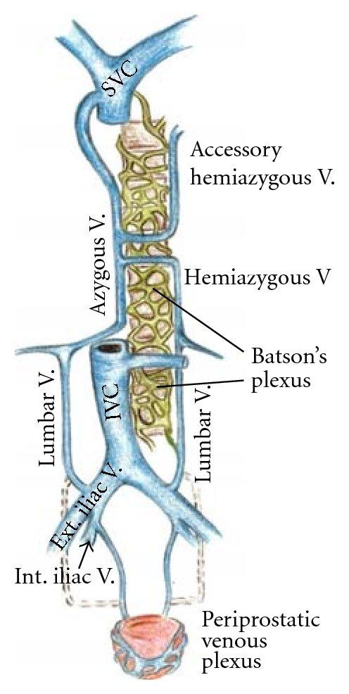 Superior And Inferior Vena Cava Diagram