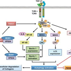 Transforming growth factorb (TGFb)activated kinase 1