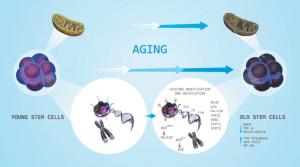 Factors affecting aging of stem cells—shortening of telomeres,   Download Scientific Diagram