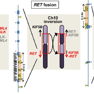 Molecular process of oncogene fusion. ALK, RET, and ROS1 ...