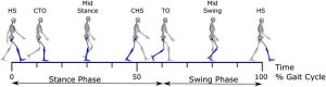 The gait cycle Depicted is one gait cycle, with the right leg   Download Scientific Diagram