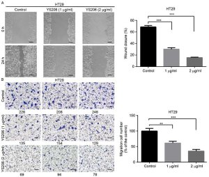 Compound YS206 inhibits HT29 colon cancer cell migration