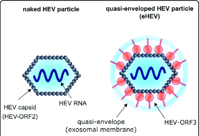 Genome organization of the hepatitis E virus. The 5′ end of the ...