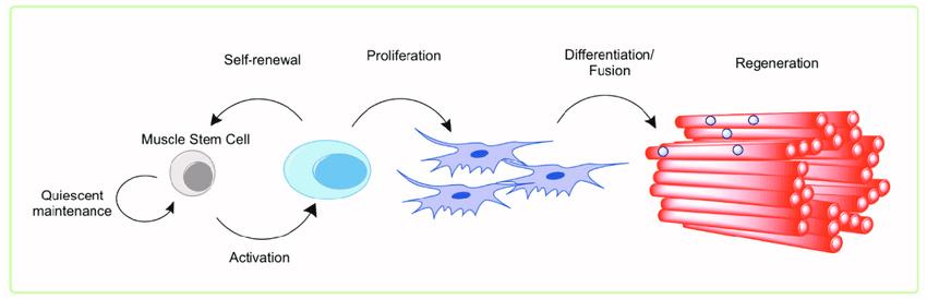Image result for muscle stem cells