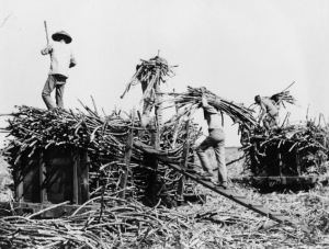 Workers loading cane (Source: Library of Congress, Prints & Photographs Division, [reproduction number, e.g., [LC-USZ62-1234] , Frank and Francis Carpenter Collection, no restrictions.