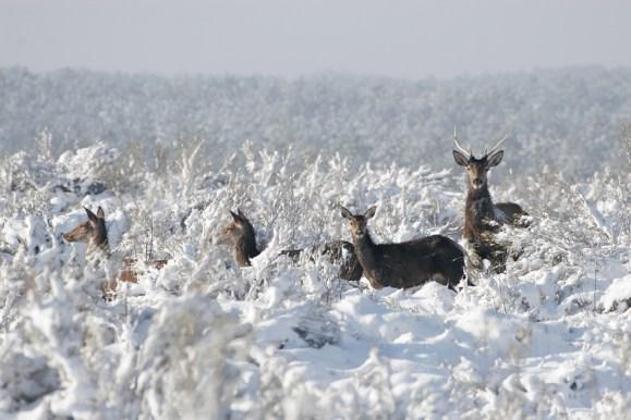 Cervidés dans la neige © Pascal FONTAINE