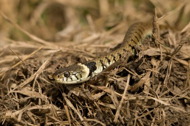 Couleuvre à collier (Natrix natrix) © Y. Sellier