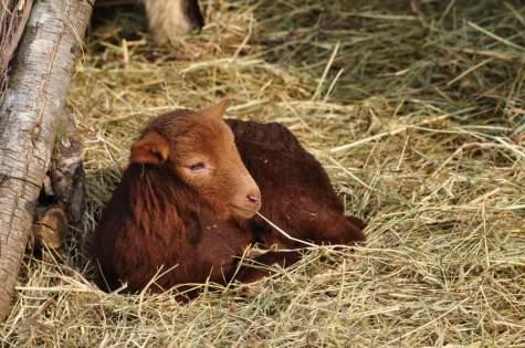 Naissance d'un agneau © Y. Sellier