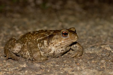 Crapaud commun (Bufo bufo) © Y. Sellier