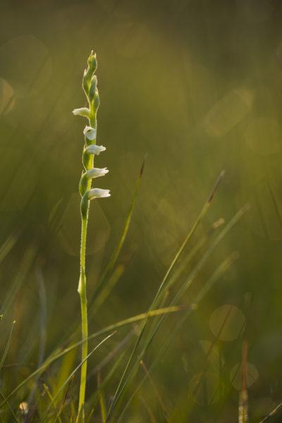 Spiranthe d'été (Spiranthes aestivalis) © L. Bourdin