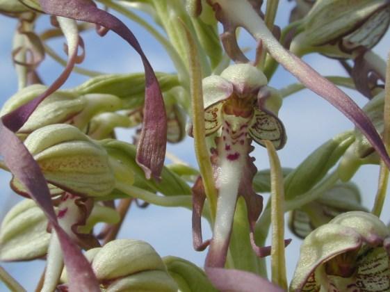 Orchis bouc (Himantoglossum hircinum) ©