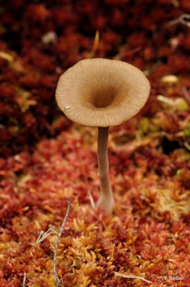 Arrhenia sphagnicola © Y. Sellier