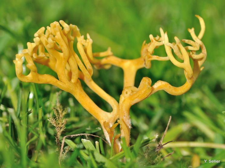 Clavulinopsis corniculata © Y. Sellier