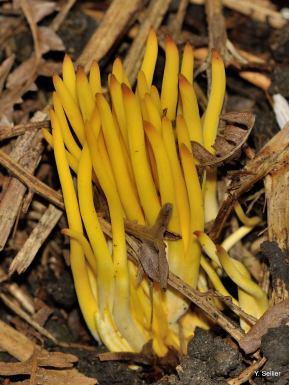 Clavulinopsis fusiformis © Y. Sellier