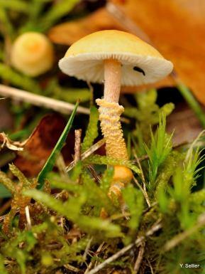 Cystoderma amianthinum © Y. Sellier