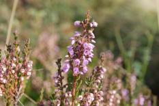 Callune -Calluna vulgaris