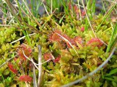 Droséra à feuilles rondes - Drosera rotundifolia et sphaignes -Sphagnum sp.