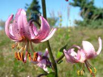 Lys martagon - Lilium martagon