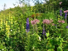 Flore de mégaphorbiaie : Aconit napel, Adénostyle à feuilles d'allières, gentianes et ail de la victoire...