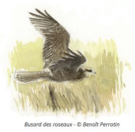 Illustration de Busard des roseaux - Benoit Perrotin