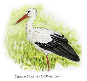 Illustration de Cigogne blanche - Olivier Loir