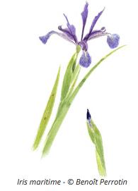 Illustration d'Iris maritime - Benoit Perrotin