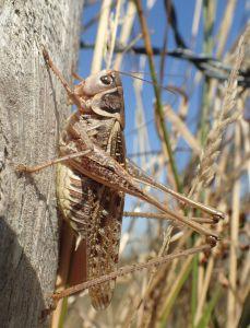 Grâce au travail de cet automne, près de 30 espèces d'orthoptères sont maintenant recensées sur la réserve © F. Herbrecht