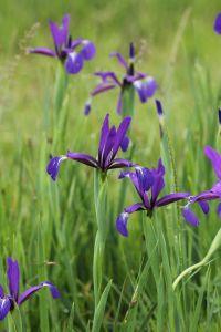 Son nom latin actuel est Iris reichenbachiana.