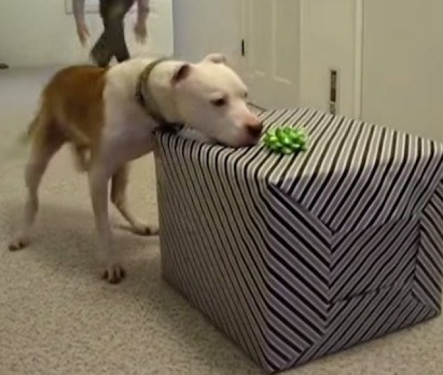 After Surviving 7 Months Chemo Free This Sweet Pit Bull Gets The Surprise Of His Life