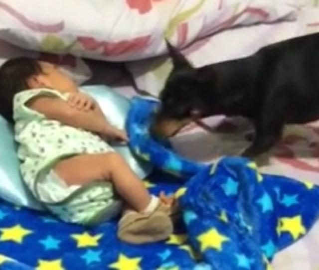 Family Dog Tucks In Baby For Nap