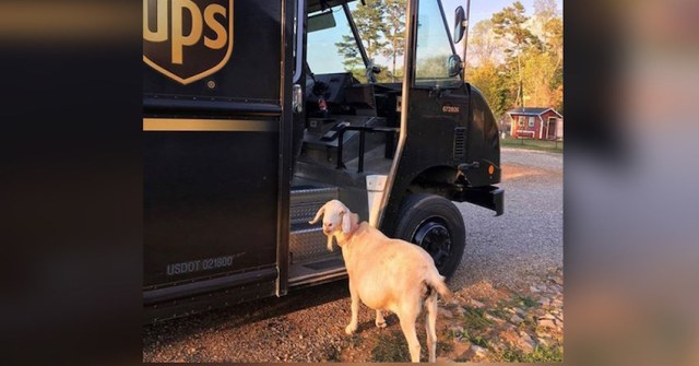 Rescued Goat Is In Love With The Ups Driver